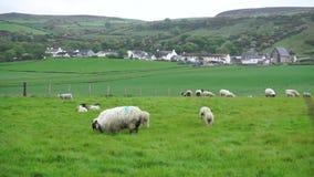 Schafe, die auf einem Gebiet weiden lassen stock footage