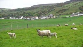 Schafe, die auf einem Gebiet weiden lassen stock video footage