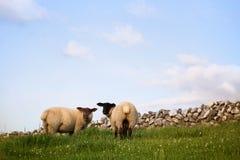 Schafe, die auf einem grünen Gebiet stehen Stockbild