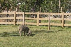 Schafe, die auf einem grünen Gebiet weiden lassen Stockbild