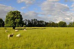 Schafe, die auf einem großen grünen Gebiet mit Bäumen weiden lassen Stockfotos