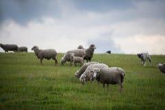 Schafe, die auf einem Hügel weiden lassen Lizenzfreies Stockbild