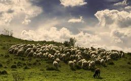 Schafe, die auf einer grünen Wiese während eines sonnigen Tages weiden lassen Stockfoto
