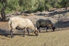 Schafe, die auf einer olivgrünen Plantage in Thassos-Insel, in Ost-Mazedonien und in Thrakien, Griechenland weiden lassen Stockfotos