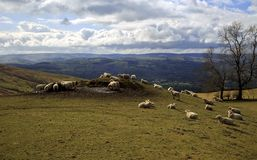 Schafe, die auf einer Seite des kleinen Hügels und des Berges des schönen Tals von Clwyd Flintshire Nord-Wales weiden lassen lizenzfreie stockfotos