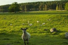 Schafe, die auf Feld in Schweden stehen Lizenzfreie Stockbilder
