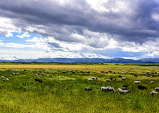 Schafe, die auf grüner Weide weiden lassen Stockfotografie