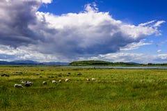 Schafe, die auf grüner Weide weiden lassen Stockfotos