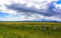 Schafe, die auf grüner Weide weiden lassen Lizenzfreies Stockbild