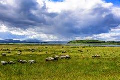 Schafe, die auf grüner Weide weiden lassen Stockbilder