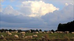 Schafe, die auf Graben, blauer Himmel des Hintergrundes mit Wolken weiden lassen stock footage