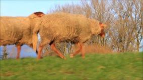 Schafe, die auf Graben in der Abendsonne laufen stock footage