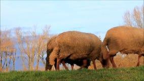 Schafe, die auf Graben in der Abendsonne laufen stock video