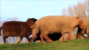 Schafe, die auf Graben laufen stock video