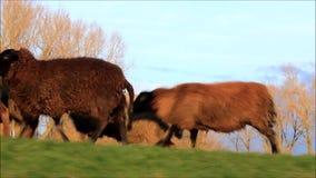 Schafe, die auf Graben laufen stock footage