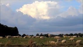 Schafe, die auf Graben weiden lassen stock video