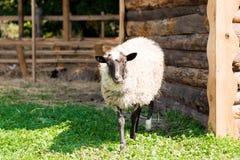 Schafe, die auf Gras stehen. Lizenzfreie Stockfotos