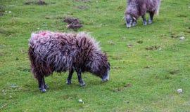 Schafe, die auf Hügel weiden lassen Stockbild
