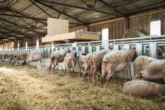Schafe, die auf Heu-, Landwirtschaftsindustrie-, Landwirtschafts- und Ackerbaukonzept einziehen Lizenzfreies Stockbild