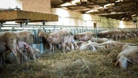 Schafe, die auf Heu-, Landwirtschaftsindustrie-, Landwirtschafts- und Ackerbaukonzept einziehen Stockbilder