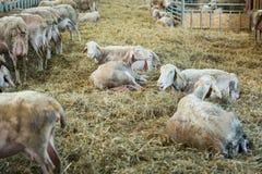 Schafe, die auf Heu-, Landwirtschaftsindustrie-, Landwirtschafts- und Ackerbaukonzept einziehen Lizenzfreie Stockfotografie