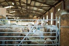 Schafe, die auf Heu-, Landwirtschaftsindustrie-, Landwirtschafts- und Ackerbaukonzept einziehen Stockbild