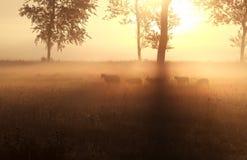 Schafe, die auf nebelhafter Sonnenaufgangweide weiden lassen Stockbilder