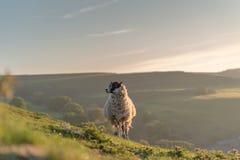 Schafe, die auf Parkhouse-H?gel weiden lassen, und Chrome-H?gel bei Sonnenaufgang, im H?chstbezirks-Nationalpark stockbild