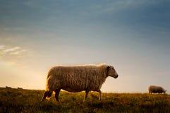 Schafe, die auf Rasenflächen weiden lassen stockfotografie