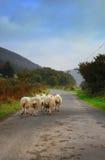 Schafe, die auf Straße gehen Stockfotos