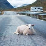 Schafe, die auf Straße stillstehen Lizenzfreie Stockfotografie