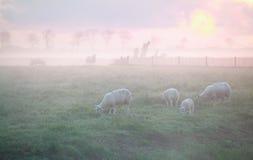 Schafe, die auf Weide bei Sonnenaufgang weiden lassen Lizenzfreies Stockfoto