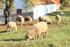 Schafe, die auf Wiese einziehen Lizenzfreie Stockfotografie