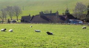 Schafe, die in Crookham, Northumberland Großbritannien sich entspannen Stockbild
