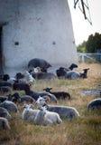 Schafe, die das Essen während eines Sommerabends in Schweden legen Lizenzfreie Stockfotos