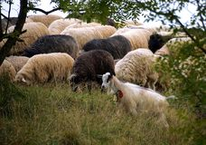 Schafe, die in den Bergen weiden lassen Schafe auf grüner Frühlingswiese in der Weinleseart stockfoto