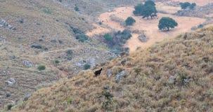Schafe, die in den Bergen weiden lassen stock video