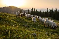Schafe, die in den blühenden Landschaften von Rumänien weiden lassen Stockfotografie