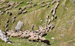 Schafe, die den Hügel hinuntergehen stockbild