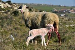 Schafe, die in den ländlichen Gebieten entbinden stockbilder