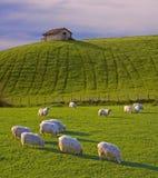 Schafe, die in den Wiesen weiden lassen Stockbilder