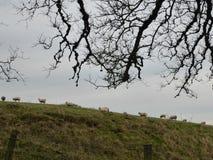 Schafe, die in der Dämmerung einen Hügel klettern Lizenzfreies Stockbild