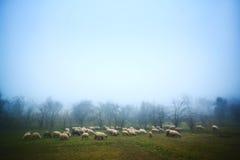 Schafe, die an der Dämmerung weiden lassen Stockfotografie