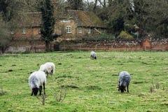 Schafe, die in der englischen Landschaft weiden lassen Stockbild