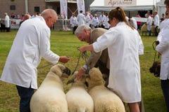 Schafe, die an der königlichen Waliser-Show geurteilt werden Stockbilder