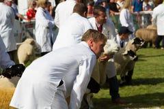 Schafe, die an der königlichen Waliser-Show geurteilt werden Lizenzfreies Stockbild