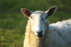 Schafe, die in der Rasenfläche stehen stockfoto