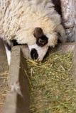 Schafe, die an der Scheune essen Stockfotografie