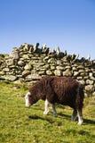 Schafe, die in der Weide weiden lassen Stockbild
