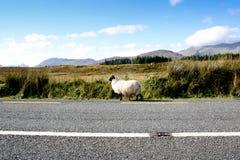Schafe, die in eine irische Straße wandern Lizenzfreies Stockfoto